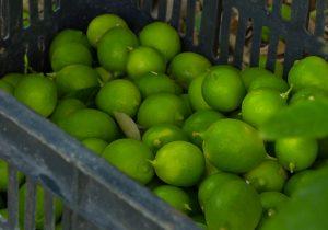 برداشت لیمو در استان/تصاویر